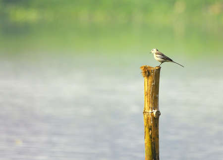 Wagtail Stock Photo - 4383577
