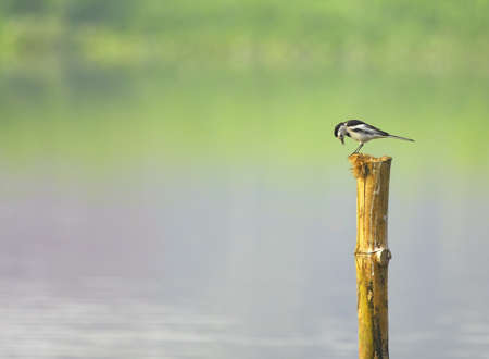 Wagtail photo