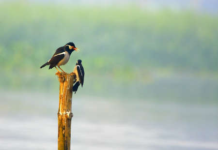 Starling Couple Stock Photo - 4384813