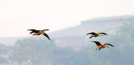 wading: Spot Bill Ducks flying