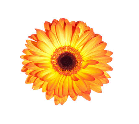 gerber daisy: Orange gerber daisy flower isolated on a white background
