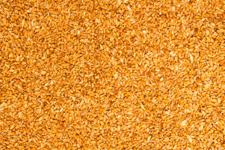 processed grains: Processed organic wheat grains Stock Photo
