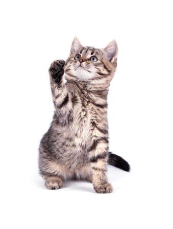 koty: Portret kot na białym tle Zdjęcie Seryjne