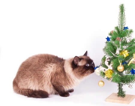 siamese: Siamese cat  with christmas decorations