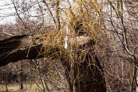topple: Broken old tree. Nature