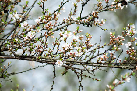 almond bud: The tree blossomed in the spring. Color tree at flowers