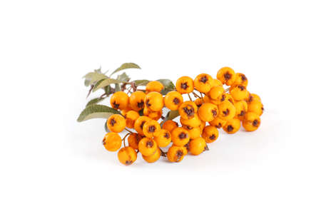 Pyracantha isolated on white background. Stock Photo