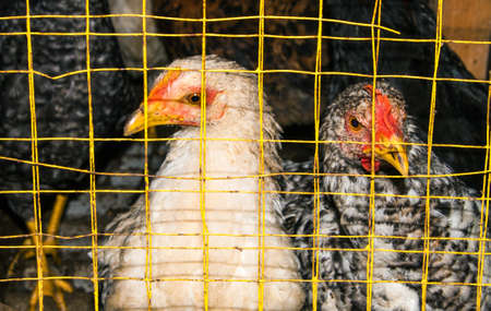 Hens in cages. Nature background. Agricultural production