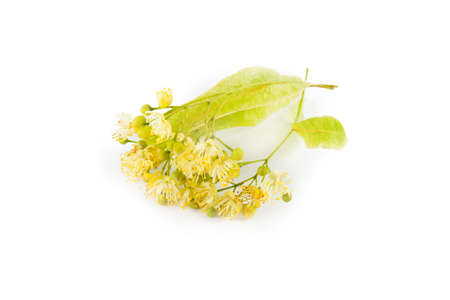 lime blossom: Blossom linden isolated on white background. Food ingredient