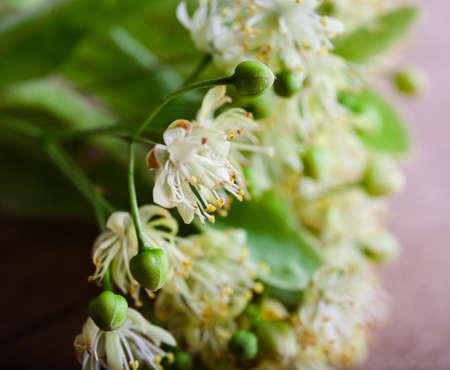 Blossom linden on wood background. Dry tea. Food ingredient