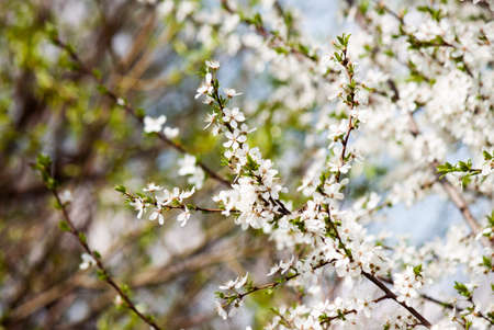 Spring blossom on tree. Nature background. Flowers