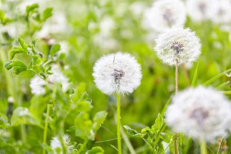 White dandelion in green field. Nature background