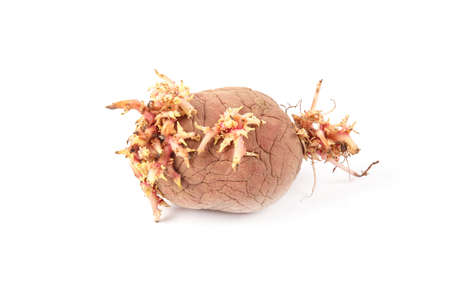 potato with sprouts isolated on white background