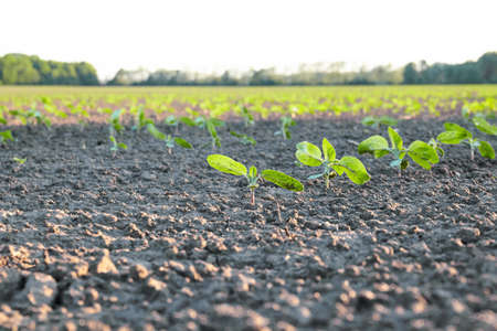 sprout in the field. Plant soil. Agriculture concept Stock Photo