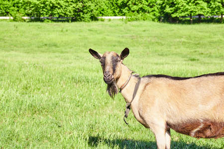beautiful goat outdoor in nature. Summer. Grass field Stock Photo