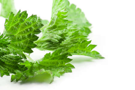 Leaves green nettle isolated on a white background.