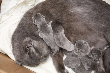 Newborn kittens feed on milk from their mother. british shorthair. at the veterinary clinic