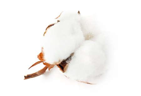 Cotton plant flower isolated on white background Standard-Bild - 121406242