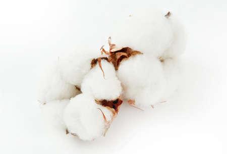 Cotton plant flower isolated on white background Standard-Bild - 121406667