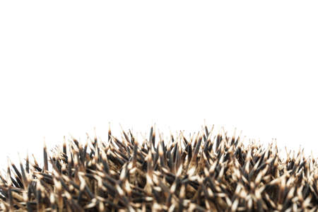 hedgehog coils isolated on white background. animals close up.