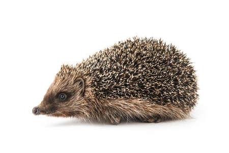 hedgehog isolated on white background. animals close up