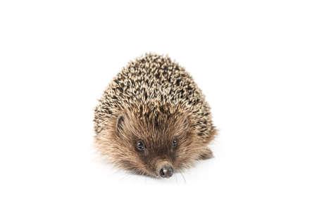 hedgehog isolated on white background. animals close up Imagens