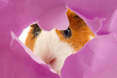 Meerschweinchen schaut durch ein Loch im Papier. Konzeptsuche Standard-Bild