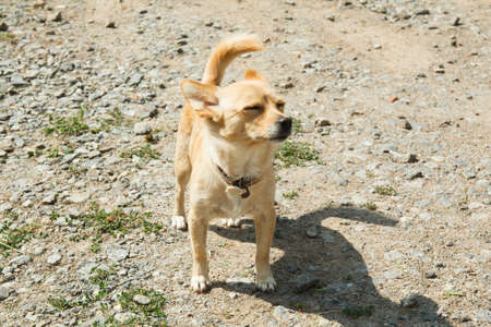 Smooth-haired Chihuahua dog on a walk.