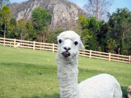 A closeup alpaca grazing in meadow