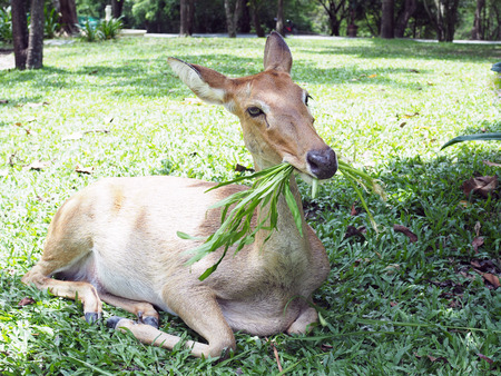 An Eld's deer eat morning glory in the zoo, with natural background.