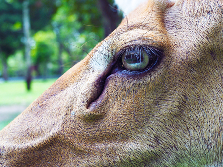 Close up eye of Eld's deer, with selective focus.