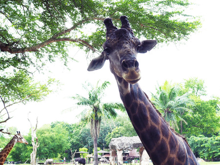 A big giraffe in the safari park; beautiful wildlife animal with selective focus.