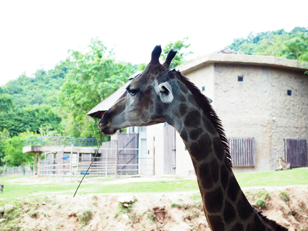 A big giraffe in the safari park; beautiful wildlife animal with selective focus.