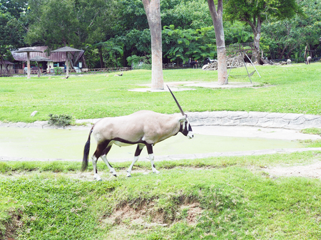 The Gemsbok walks in the national park. The gemsbok or gemsbuck (Oryx gazella) is a large African antelope with long straight nearly upright horns.
