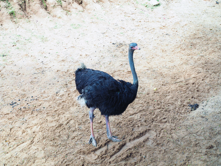 The Ostrich stand in the safari park; beautiful wildlife animal with selective focus. 版權商用圖片