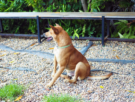 A cute brown dog sit outside wait for its owner.