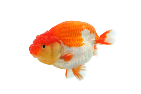 lionhead: lionhead goldfish Stock Photo