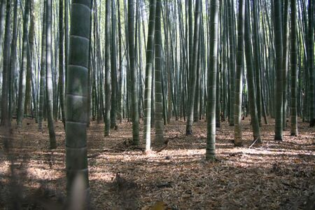 bamboo forest Stock Photo - 3273627