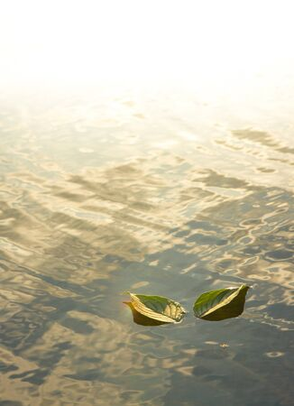 glistening: Two leaves on the glistening water Stock Photo