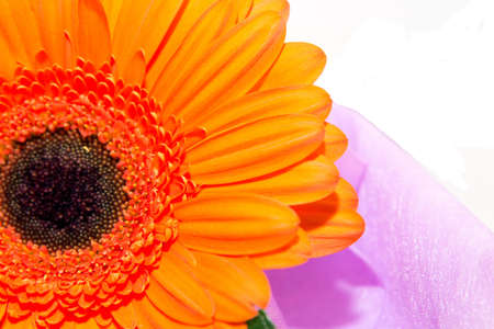 Macro gerbera on a white background photo