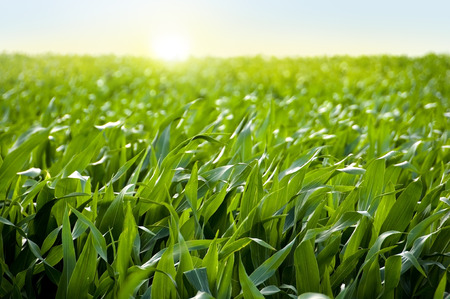 日没のトウモロコシのトウモロコシ畑