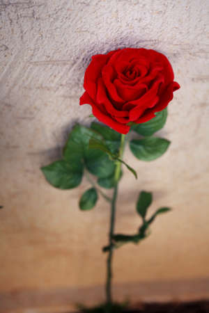 Rose photo of the month Stock Photo - 10186804