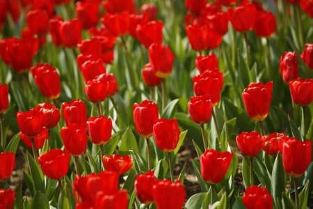 exclusive photo: Tulip