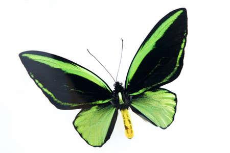 femme papillon: papillon LANG_EVOIMAGES