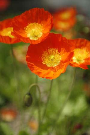 exclusive photo: Opium poppy