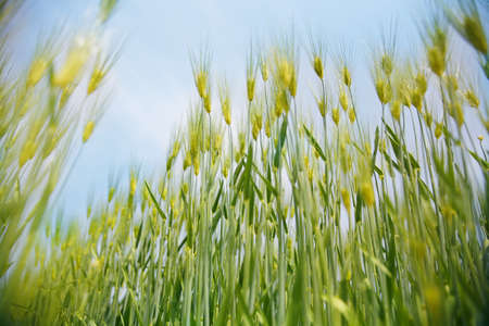 Barley ripe and golden Stock Photo - 10212052