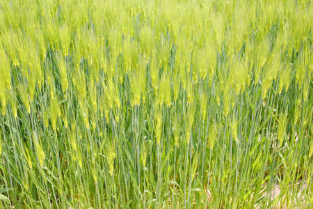 domestically: Barley ripe and golden