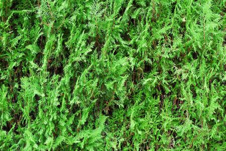 thuja green wall background Zdjęcie Seryjne