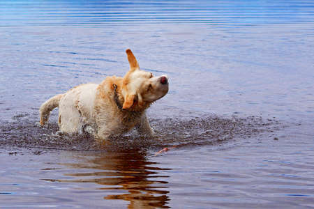 golden labrador retriever shakes himself off after swimming in lake