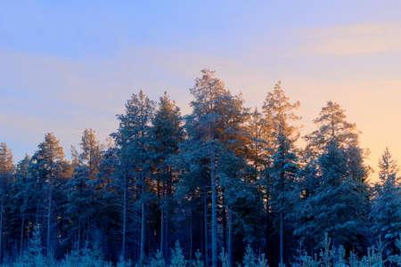 frozen pine grove back lit by rising sun in winter